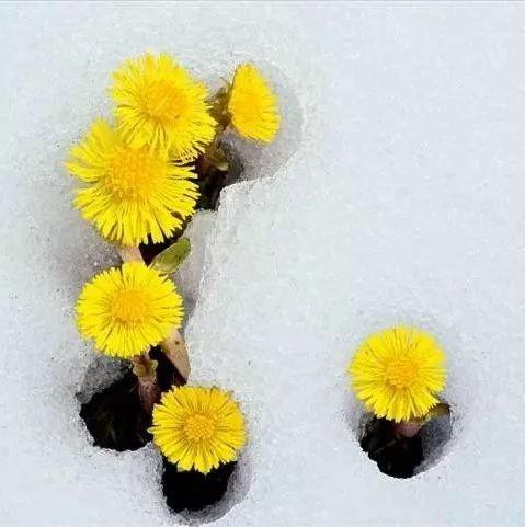 浅谈中药款冬花(中药故事、本草考证、款冬开花过程、原植物标本、药材图片)